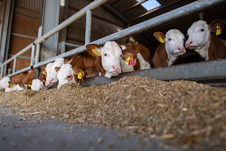 Venneker Vieh, Großvieh bei zwei Landwirten am 22.08.2019