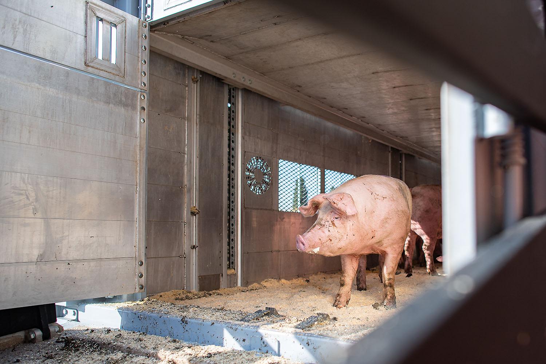 Venneker Schweine Verladung